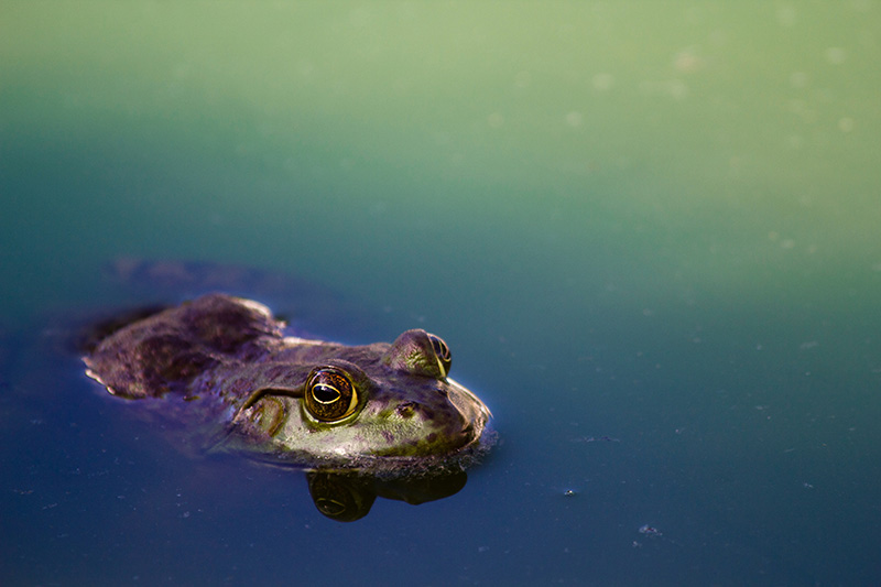 Green frog looking above water surface